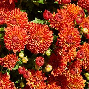 Chrysanthemum Harvest Dendranthema   - Chrysanthemum Igloo -  std pot